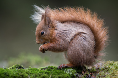 A close up of a red squirrel sitting on grass. It is a typical pose with the bushy tail over its back. The image almost fills the entire frame Stock fotó