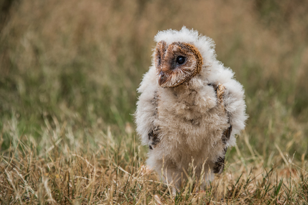 Taken from a low angle, this very young melanistic barn owl chick. The bird is sitting on the grass stariring forward slightly to the left.