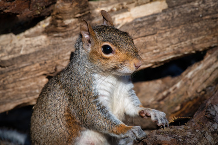 a portrait of grey squirrel sits upright between logs. It rests its paws on one looking alert to the right Stock fotó