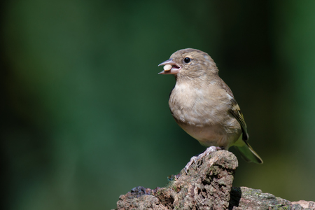 A profile portrait of a female chaffinch. The bird is perched on a log looking to the left. It has a seed in its beak and there is copy space all around
