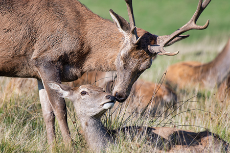 a stag and a doe appear to be kissing. Taken just before the start of the rutting season. The doe is lying down and the stag is leaning over in what appears to be an embrace