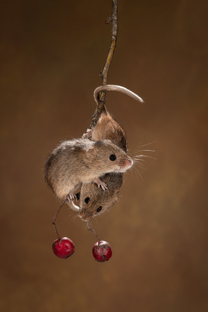 A pair of harvest mice hanging on to each other and balancing on a small twig with two red berries underneath