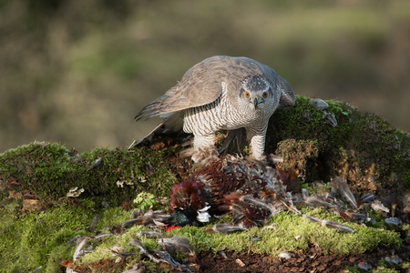 A very close photograph of a female goshawk, Accipiter gentilis, feeding on a male cock pheasant