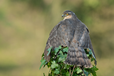 A female sparrowhawk perched on the top of an ivy covered post, spreads her wings to protect her prey taken from behind showing her wings