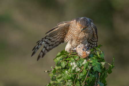 A female sparrowhawk covers her prey. One wing is outstretched covering a dead hawfinch