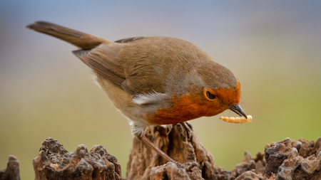 A robin is perched on a tree stump leaning over and feeding on a meal worm