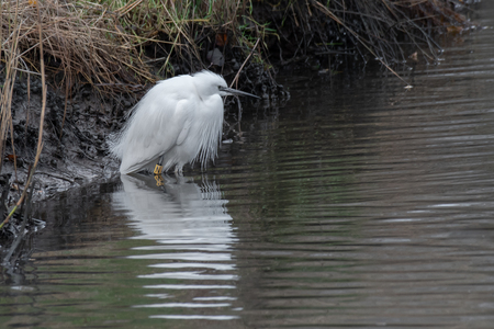 Close up of an egret fishing. It is standing in the water looking for its prey. There is a reflection in the water Stock fotó