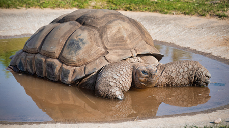 A giant tortoise taking a bath in a very shallow pool.  There is a reflection in the water and it is a close up image Stock fotó