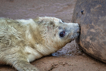 Taken at the breeding ground in Donna Nook is a close up of a very young seal pup  feeding from its mother