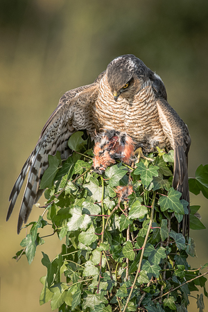 A female sparrowhawk perched on top of an ivy covered post with its prey. It is looking down and a wing is spread to cover the prey and taken in an upright format.