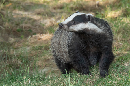 A close up portrait of a badger walking towards the camera.