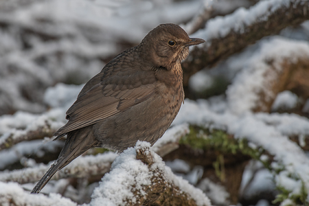 A very close portrait of a female blackbird sitting on a snow covered wood pile. It is perched and looking closely to the right for  predators Stock fotó