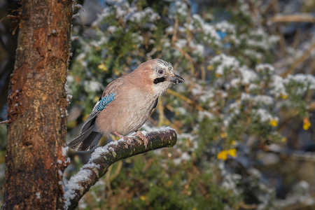 Close up of a jay. A jay is a kind of colourful, noisy bird in the crow family.