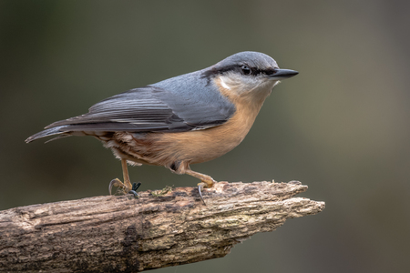 A nuthatch close up of the bird perched on a thick branch facing right with its head turned slightly