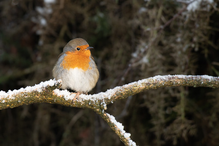 A robin Erithacus rubecula perched on a snow covered branch in a wood with a natural backdrop and copy space Stock fotó