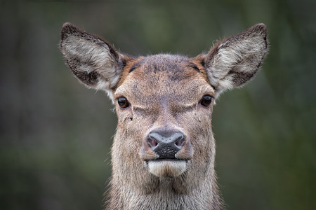 A very close image of a red deer staring forward at the camera.