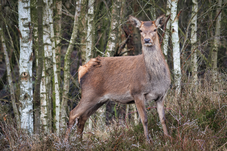 A full length portrait od a red deer standing with a wood or forest as a background.