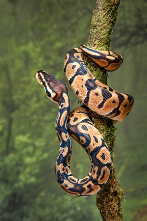 A young royal python wrapped around a tree trunk with its head facing upwards