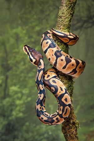 Una joven pitón real envuelta alrededor del tronco de un árbol con la cabeza hacia arriba.