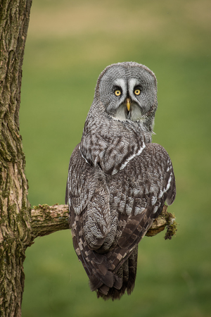 A portrait of a great gray grey owl perched on a branch. It is taken from behind and its head is turned facing backwards looking at the camera