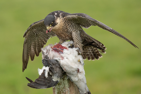 A peregrine falcon forms a mantle over as it feeds on its prey of a pigeon Stock fotó