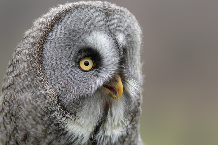 A very close up portrait photograph of a great grey gray owl. Showing just the head and face as it looks intensely to the right