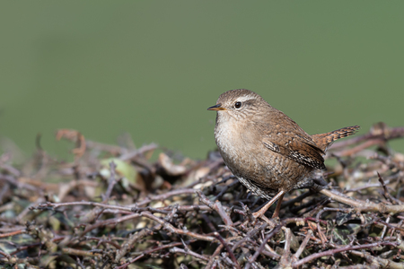 A small wren perched on the top of a hedge. It is a profile portrait looking to the left
