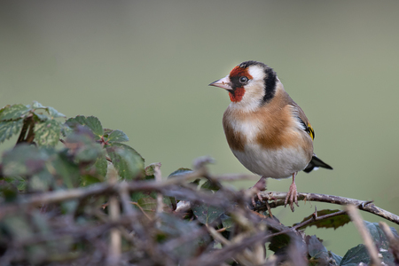 A goldfinch perched on the top of a hedge. It is a profile portrait looking to the left