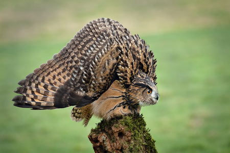 an eagle Owl in a threat or defensive posture, with feathers ruffled to increase apparent size. The head is lowered, and wings spread out and pointing down.  Stock fotó