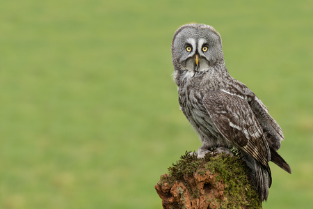 A great grey gray owlIs perched on an old tree stump in the middle of a filed. It is looking straight at the camera and is offset to the right with copyspace on left