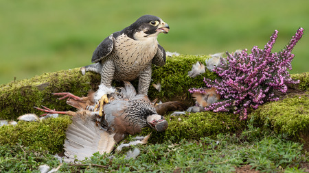 A peregrine with its prey of a partridge is looking for other predators to the right. It has food in its beak Stock fotó