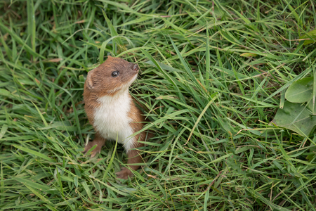 A stoat emerges from hiding in the grass, its head and front legs are in view as it looks around