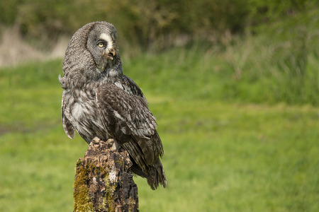 A great grey gray owl perched on an old tree stump in the middle of a filed. It is looking to the right into copyspace