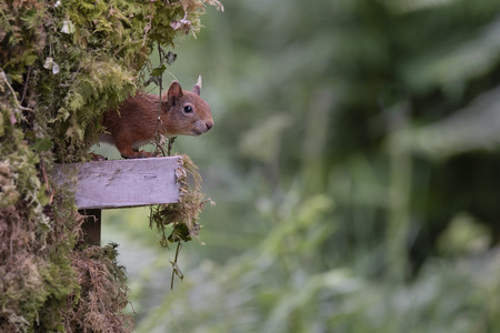A red squirrel coming out of hiding, its head an half its body appearing from behind an old tree stump