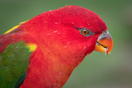 A very close portrait of a chattering yellow backed lorikeet. It is looking down against a green background
