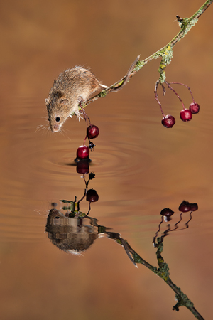 A small harvest mouse balances on a twig over water with its reflection it takes a drink Stock fotó