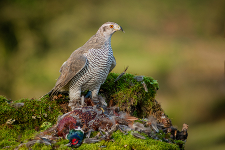 A goshawk Accipiter gentilis perched erect on a bank protecting its prey of a pheasant