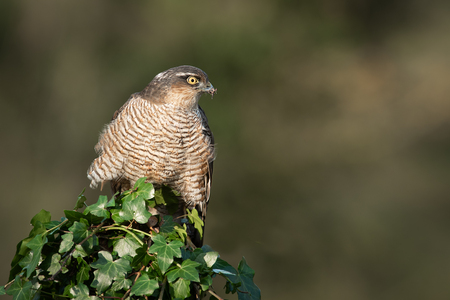 A female sparrowhawk Accipiter nisus perched on top of an ivy covered post. It is looking alert to the right