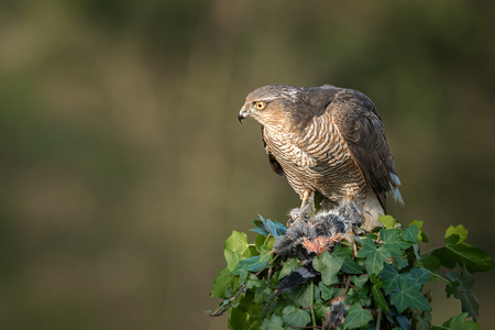 A female sparrowhawk Accipiter nisus perched on top of an ivy covered post with its prey. It is looking alert to the left protecting her prey of a bullfinch Stock fotó