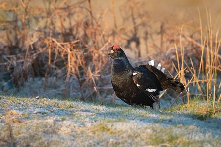 A profile portrait of a black grouse standing in the sunshine with its beak open calling Stock fotó