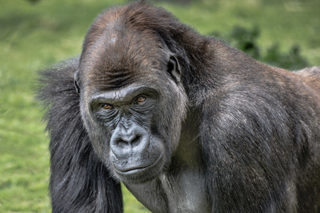 A very close up portrait of a male silverback gorilla showing head and shoulders and staring forward with menacing eyes