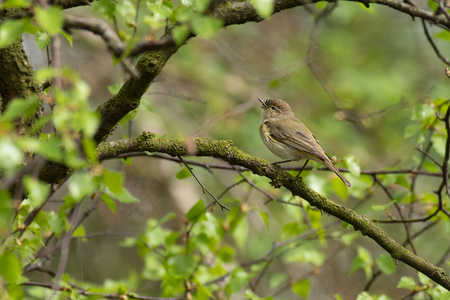 A chiffchaff, Phylloscopus collybita, perched on a branch in the middle to a tree looking up Stock fotó