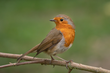 A close portrait of a robin perched on a branch looking behind over its shoulder against a natural green background