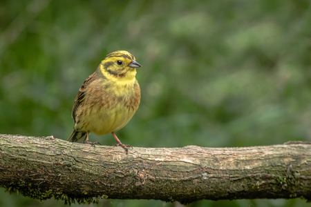 A close up portrait of a yellowhammer, Emberiza citrinella, perched on an old fallen log with a natural background