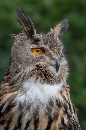 A close up portrait of a eurasian eagle owl looking intensely to the right