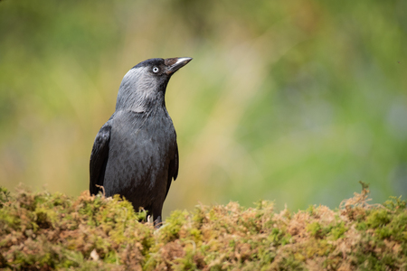 A half length portrait of a jackdaw perched on a lichen covered log staring up slightly and slightly tight into copy space Stock fotó