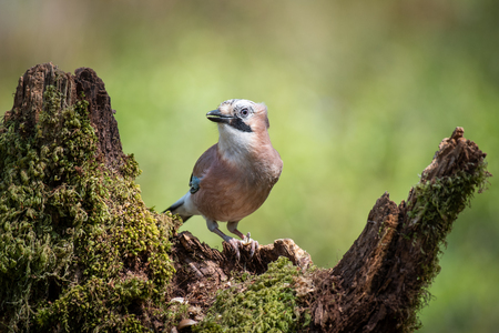 A close up portrait of a jay perched on an old tree stump looking alert and facing left