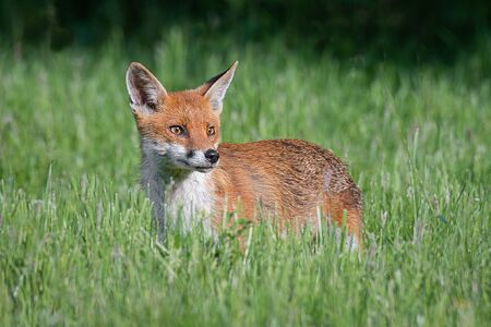 A red fox stands in the grass and looking alert to the right into copy space