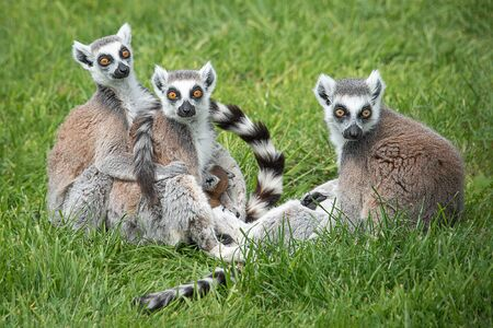 A family group of ring tailed lemurs complete with a very young one The three adults are all facing forward it large orange eyes wide open