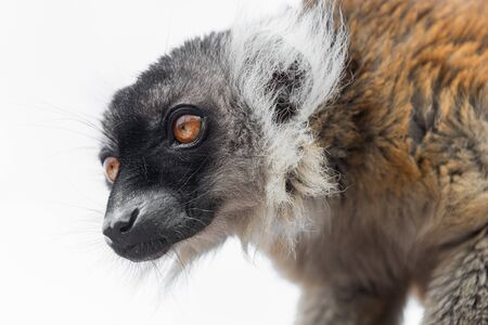 A close up head portrait of a black and white ruff necked lemur isolated against a white background